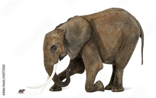 African elephant kneeling in front of a mouse, isolated on white Fototapeta
