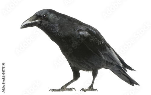 Canvas Print Carrion Crow with inquisitive look, Corvus corone, isolated