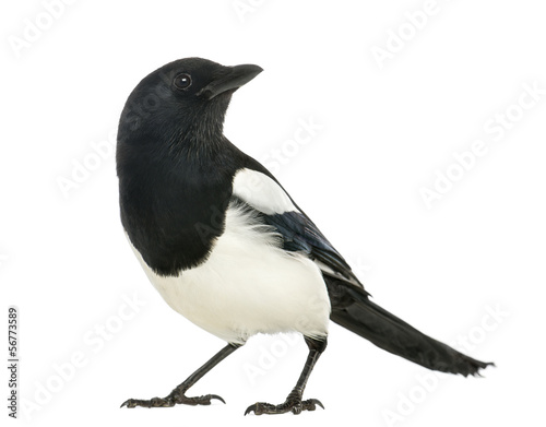 Canvas Print Common Magpie looking up, Pica pica, isolated on white