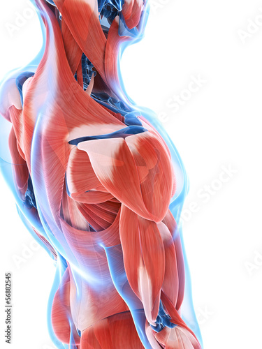 Canvas Print 3d rendered illustration of the male musculature