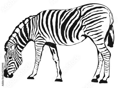 Zebra #57518948