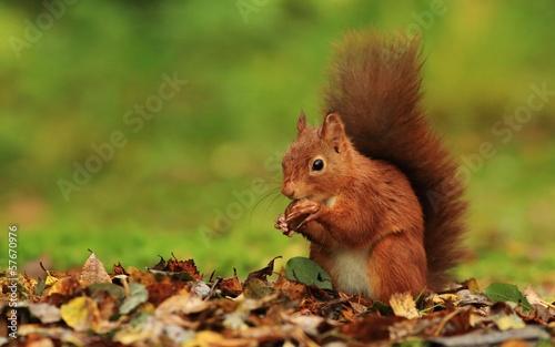Obraz na plátně Red Squirrel (Sciurus vulgaris)