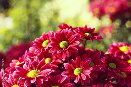 Tableau sur Toile chrysanthemum