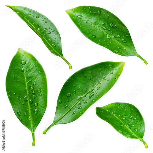 Citrus leaves with drops isolated on a white background