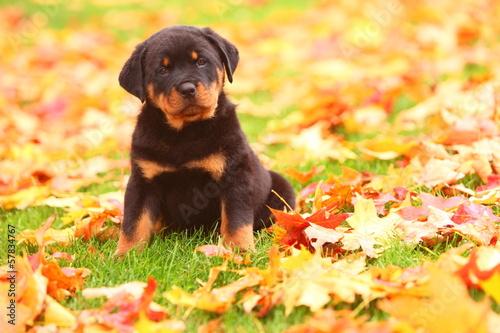 Obraz na plátně Rottweiler Puppy Sitting in Autumn Leaves