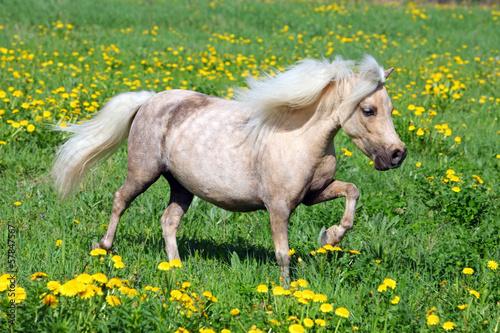 Stampa su Tela Funny Falabella pony in spring meadow