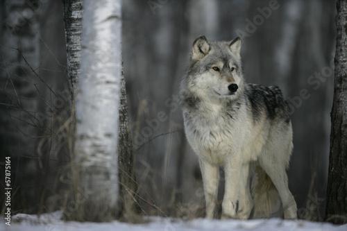 Fototapeta Šedý vlk, Canis lupus