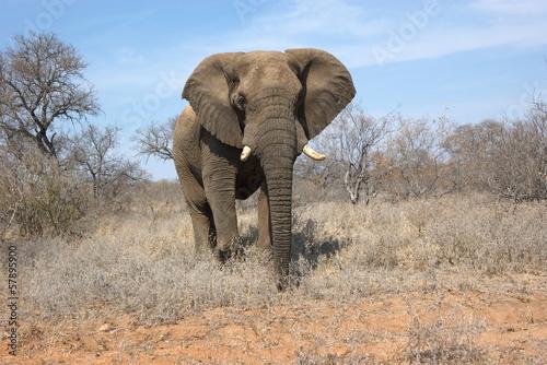 Fototapeta premium Portret słonia afrykańskiego