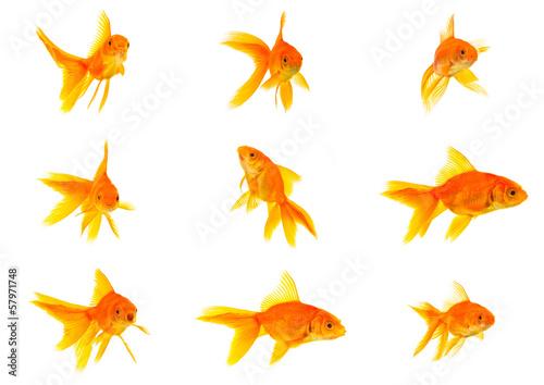 Obraz na plátně Set of gold fishes