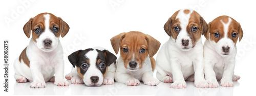 Fotografia Jack Russel terrier puppies. Group portrait