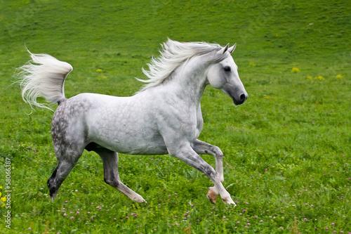 Gray Arab horse #58066387