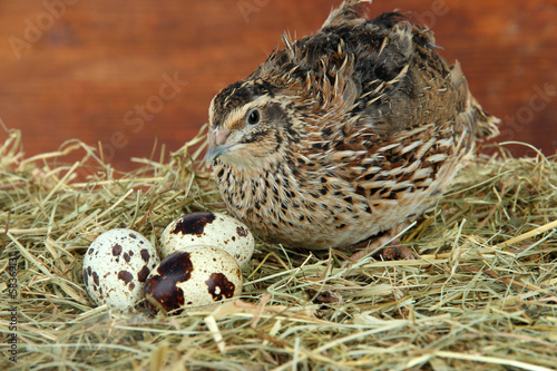 Canvas Print Young quail with eggs on straw on wooden background