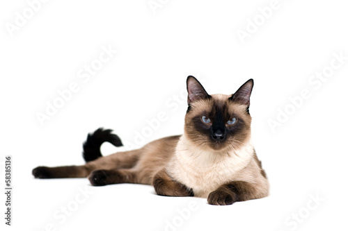 Siamese cat Fototapeta