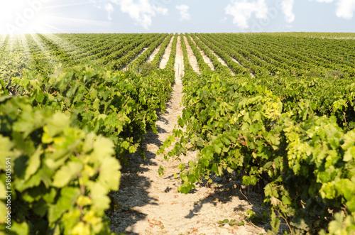 Fototapeta vineyard in sunny day