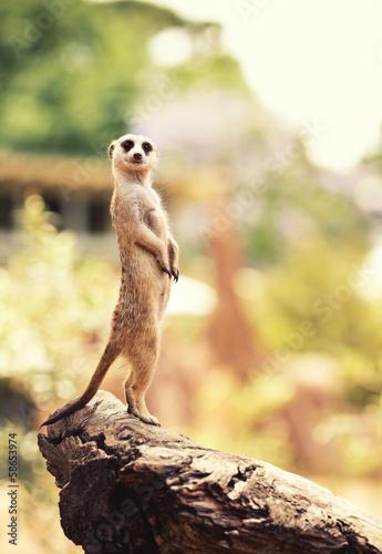Meerkat (Surikate) Fototapeta