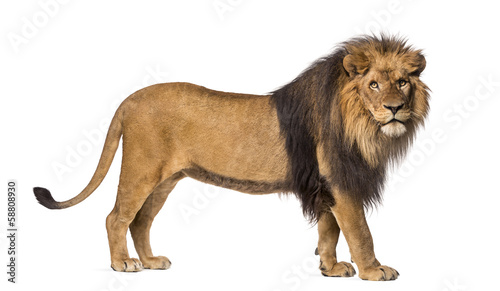 Side view of a Lion standing, looking at the camera