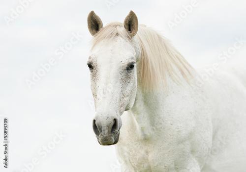 Obraz na plátně Portrait of beautiful white horse