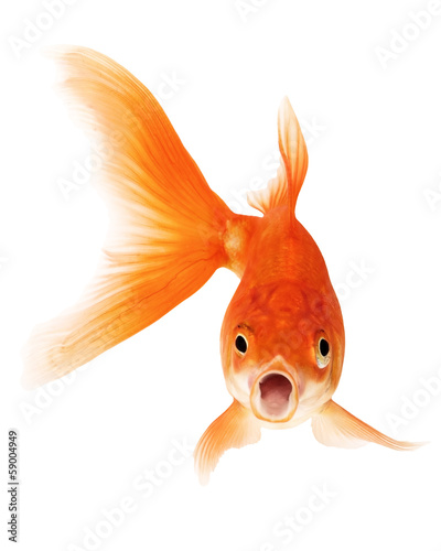 Fotografie, Obraz Gold Fish on White Background