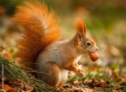 Fotografie, Obraz Red squirrel foraging for hazelnuts