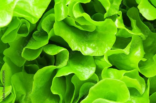 Canvas Print Lettuce