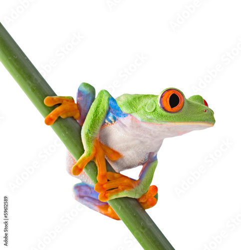 red eyed tree frog isolated Fototapeta