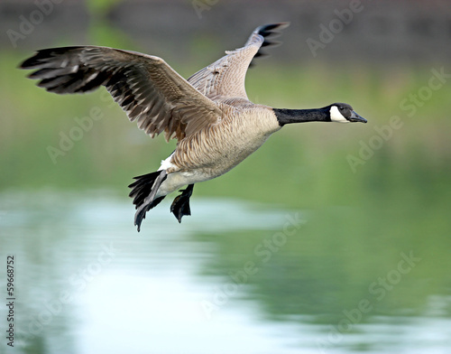 Obraz na płótnie Canadian Goose in flight2