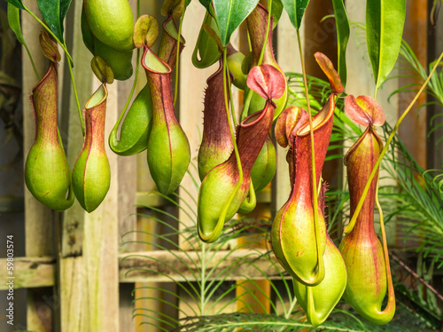 Leinwand Poster Nepenthes  ventrata, a carnivorous plant