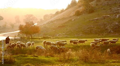 Slika na platnu Shepherd herding sheep at sunrise across the pasture