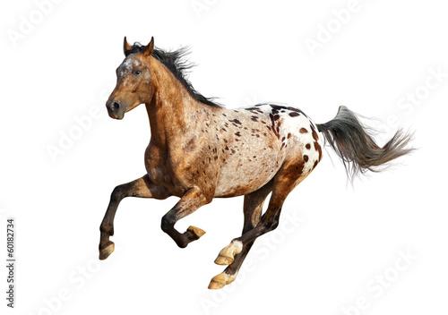 Canvastavla appaloosa stallion