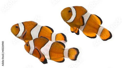 Fotografering Group of Ocellaris clownfish, Amphiprion ocellaris, isolated