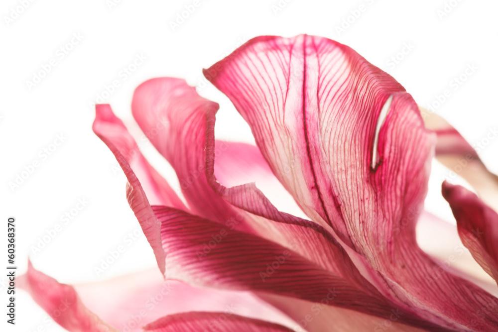 tulipan <span>plik: #60368370   autor: Maksim Shebeko</span>