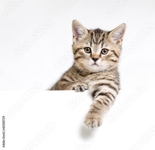 Stampa su Tela Cat or kitten isolated behind white signboard