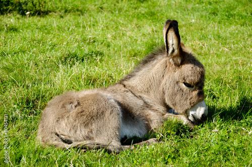 Young donkey eating grass Fototapeta