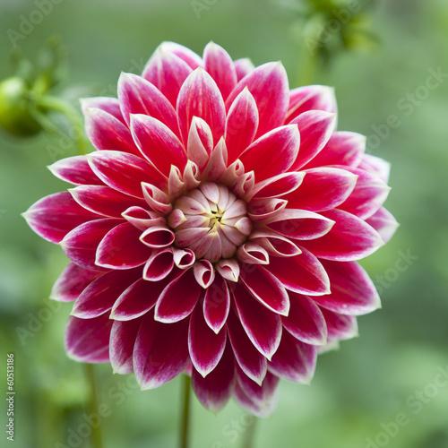 Photographie single flower of red dahlia