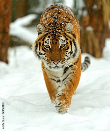 Canvas Print Portrait of a Siberian tiger