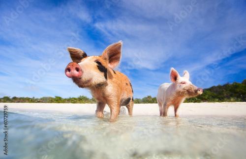 Fototapeta Swimming pigs of Exuma