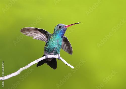 Photo Beautiful Broad-billed Hummingbird on branch of tree