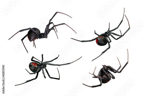 Fotografija Spider, Black Widow, Red back female, views isolated on white