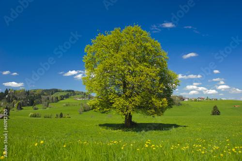 single big beech tree in meadow at summer Fototapet