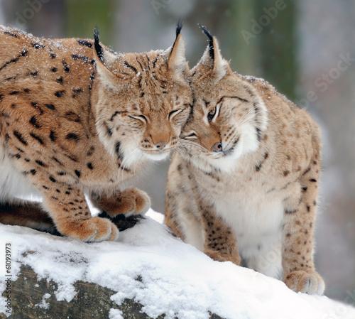 Lynx #61093973