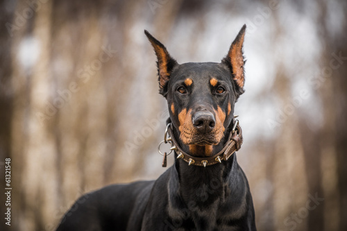 Fotografiet doberman dog