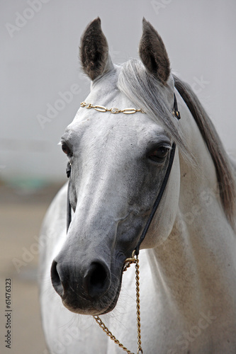 Beautiful gray Arabian horse against the stable #61476323
