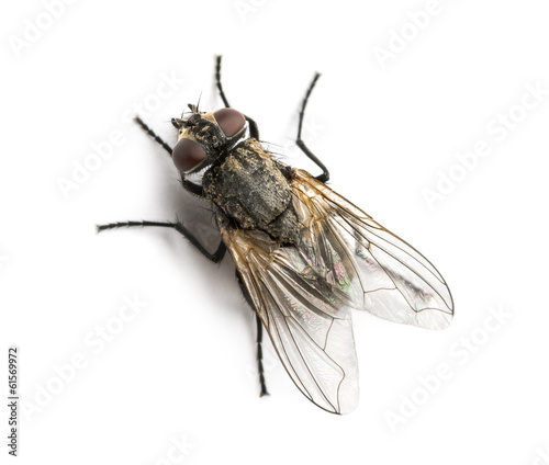 Dirty Common housefly viewed from up high, Musca domestica