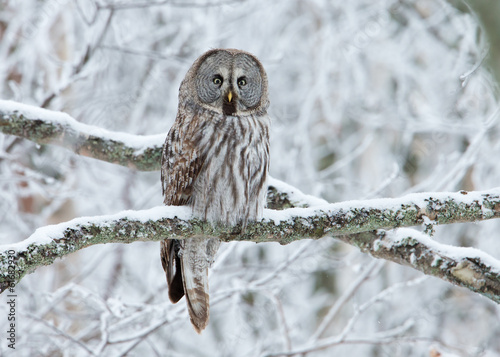 Canvas Print Great Grey Owl (Strix nebulosa) perched in a tree