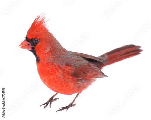 Fényképezés Cardinal Isolated