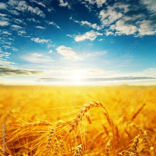 Obraz na płótnie field with golden harvest and sunset