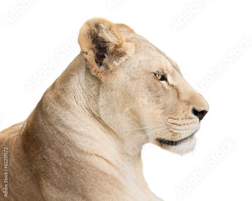 Fotografia Waiting lioness