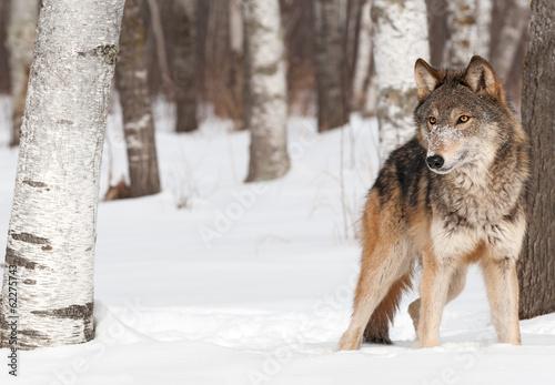 Fototapeta Šedý vlk (Canis lupus), stojí mezi stromy