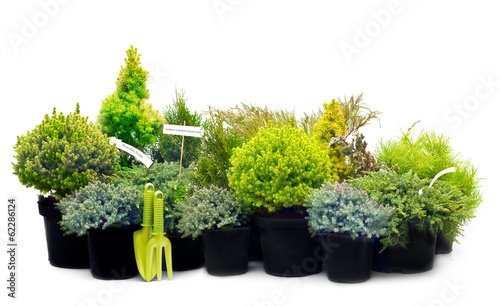 Foto Conifer sapling trees in pots isolated on white.