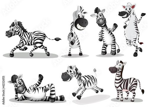Playful zebras Fototapeta